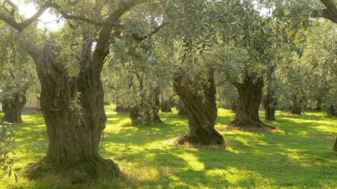 1024px-Olive_trees_on_Thassos